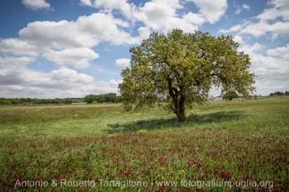 Un gigantesco fragno, nel territorio di Martina Franca. E' un tipo di quercia che si trova solo in quest'area e poi dall'altra parte dell'Adriatico. https://fotografiainpuglia.org/2014/05/15/etica-e-business/