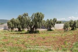 Uliveto nella Masseria del Duca, sede operativa dell'Azienda Agricola Fratelli Cassese, titolare del marchio InMasseria. I digestori sono parzialmente interrati e sono poco visibili perchè non superano l'altezza degli alberi.