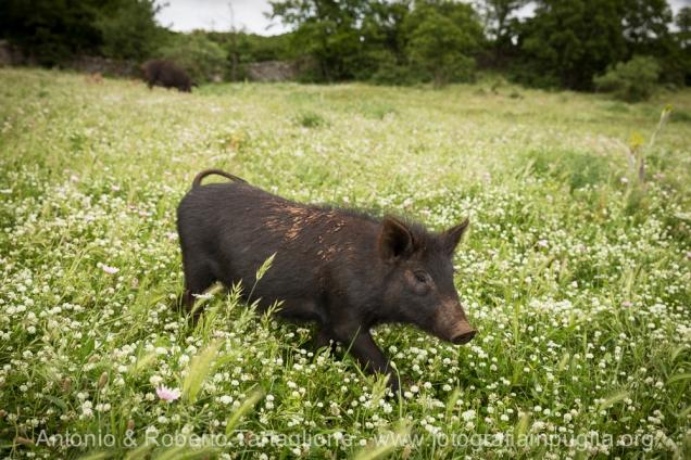 Corte del Fragno - Martina Franca (TA) - un allevamento di maiale nero all'aperto.