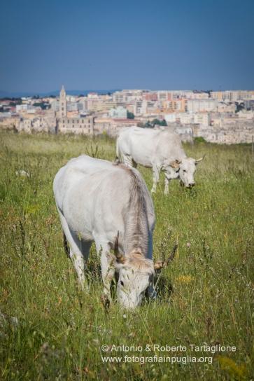 Vacche podoliche sulle colline Materane