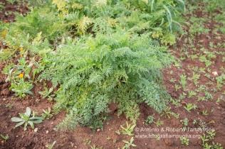 La pianta della Carota di Tiggiano in un campo vicino al paese