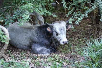 Una vacca podolica riparata all'ombra della faggeta